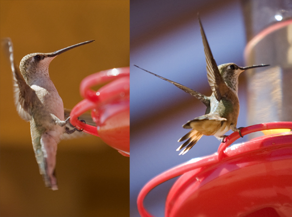 Kingsley Images Hummingbirds Corrales